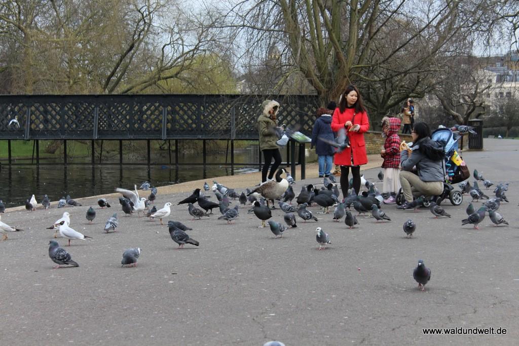 Vogelauflauf im The Regent's Park.
