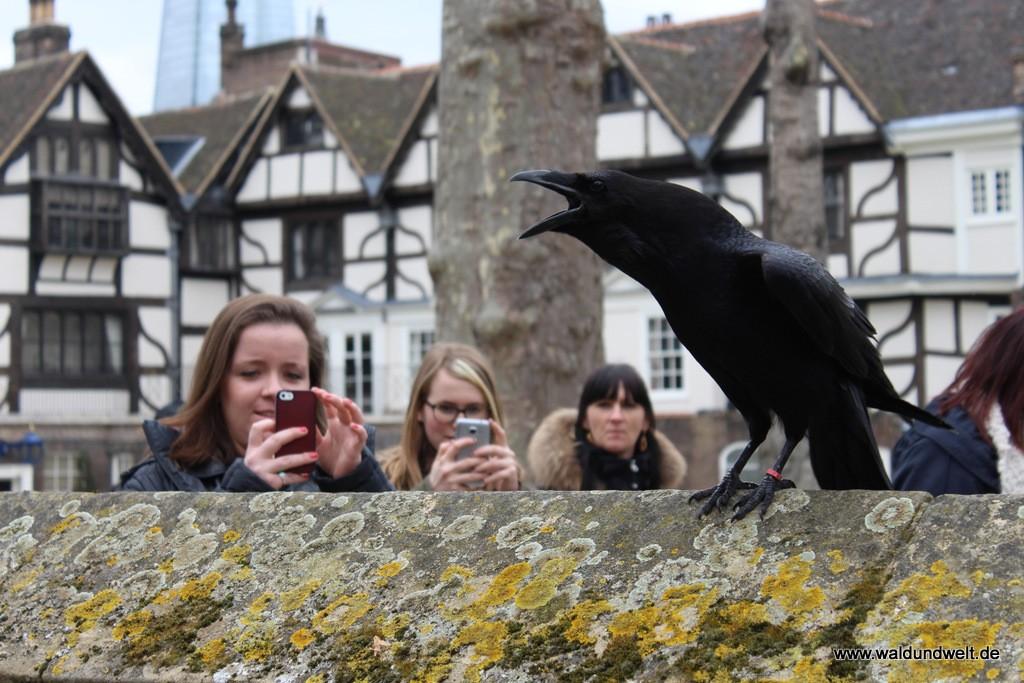Beliebtes Fotomotiv im Tower of London sind die Raben.