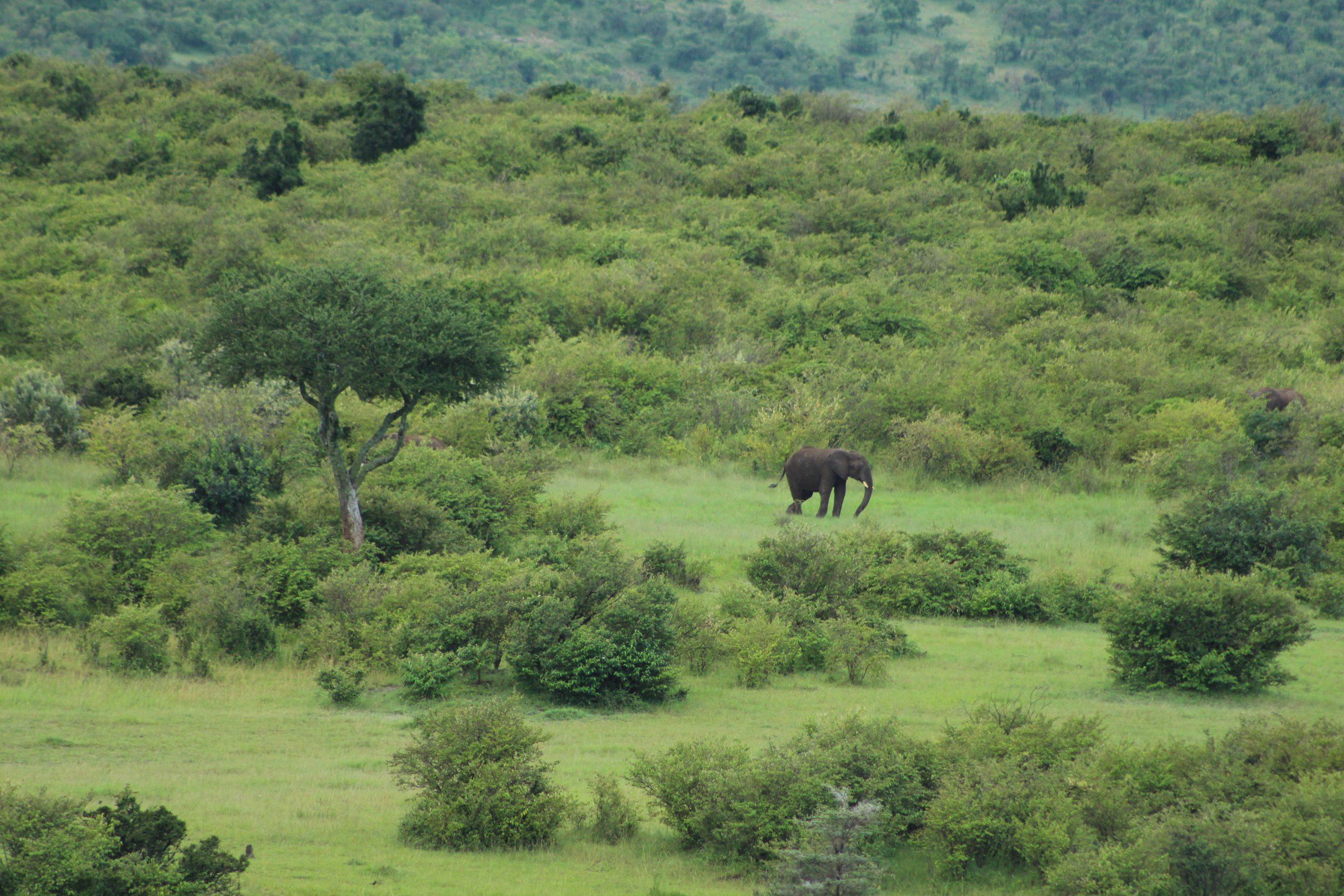 Elefant in der Masai Mara in Kenia