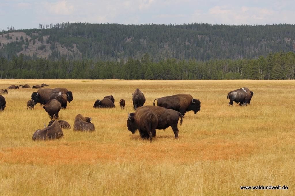 Bisons im Yellowstone-Nationalpark.